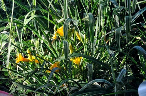 a day for daylilies