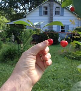 cherry picked